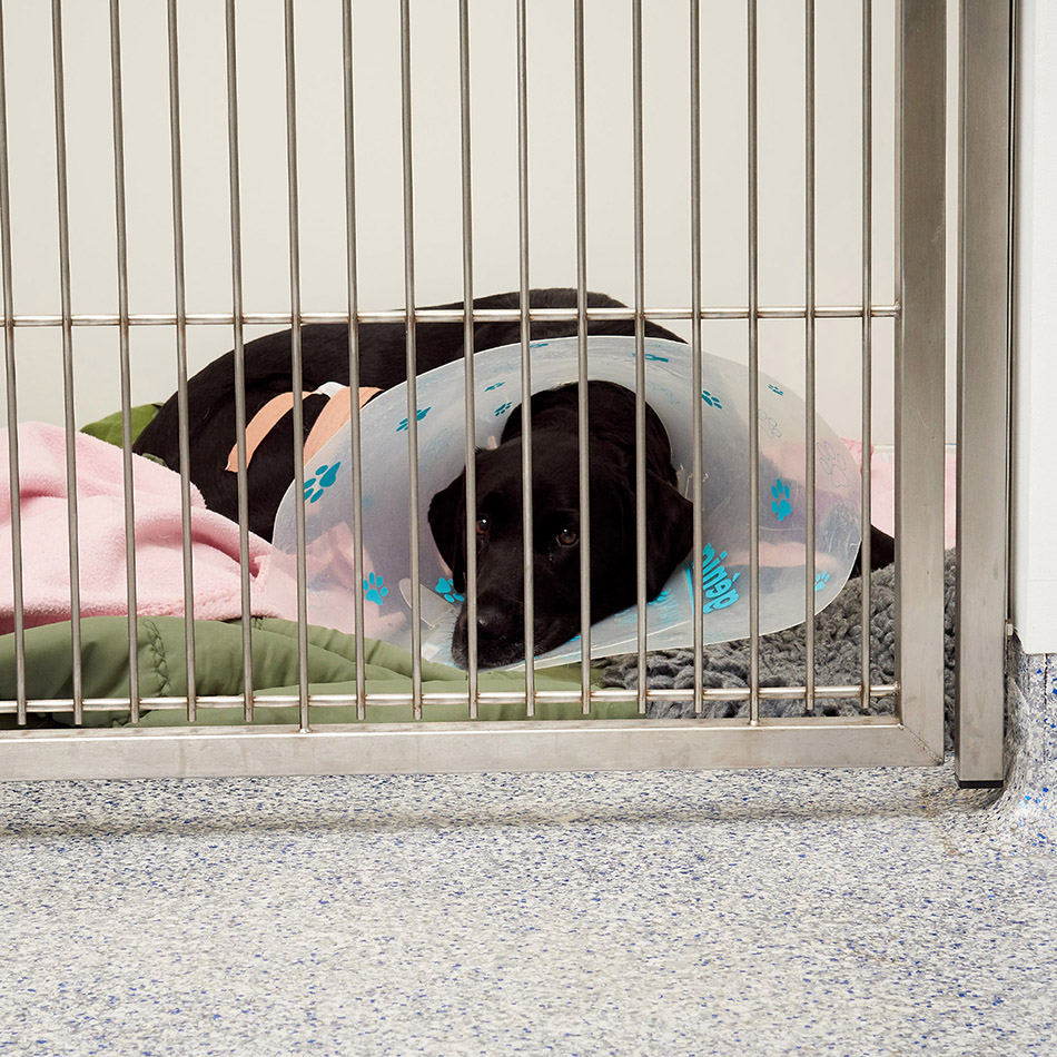 A black Labrador recovering from an operation in the dogs ward at Pattenden Vets.
