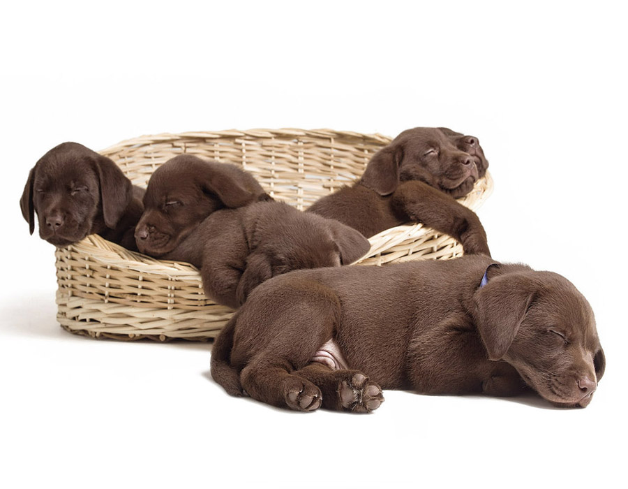 Chocolate Labrador puppies, covered by Pattenden Vets Healthy Pets scheme.