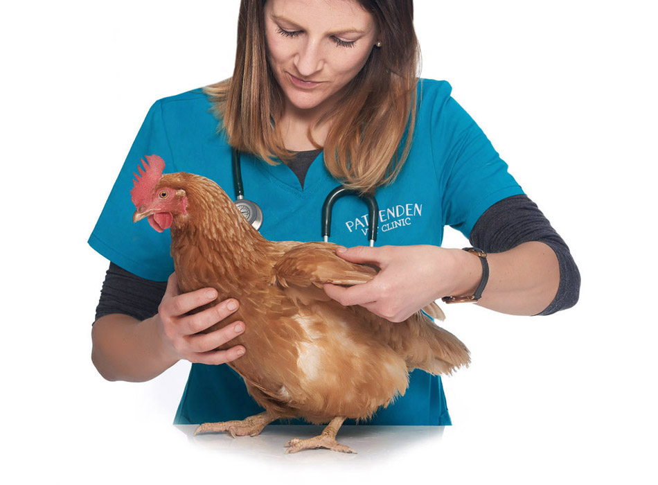 A chicken being treated by vet Tori Jordan. Pattenden Vets take appointments 7 days a week.