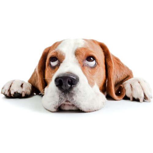 A cute Beagle at Pattenden Vets. Pattenden Vets are a small independent veterinary practice in Marden, Kent.