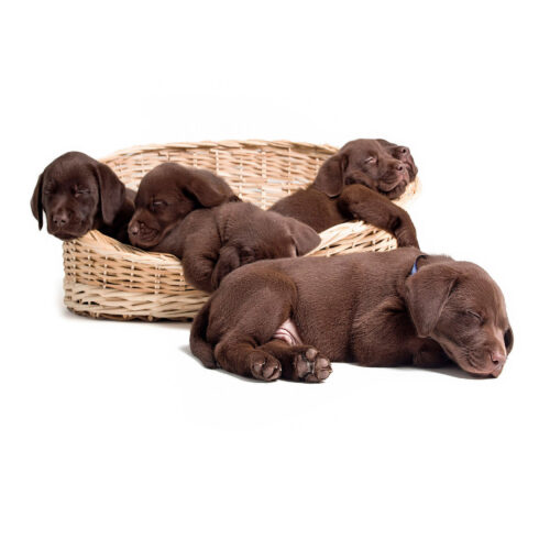 Young chocolate Labrador puppies sleeping at Pattenden Vets. Pattenden Vets are a small independent veterinary practice in Marden, Kent.