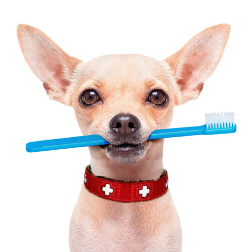 A dog at a dental examination at Pattenden Vets. Pattenden Vets are a small independent veterinary practice in Marden, Kent.