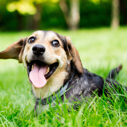 A happy dog playing in the garden at Pattenden Vets. Pattenden Vets are a small independent veterinary practice in Marden, Kent.