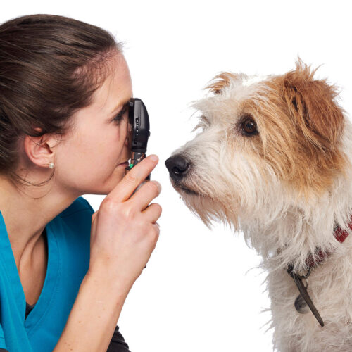 A dog having an eye examination at Pattenden Vets. Pattenden Vets are a small independent veterinary practice in Marden, Kent.