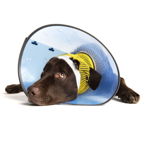 A chocolate Labrador recovering after surgery at Pattenden Vets. Pattenden Vets are a small independent veterinary practice in Marden, Kent.