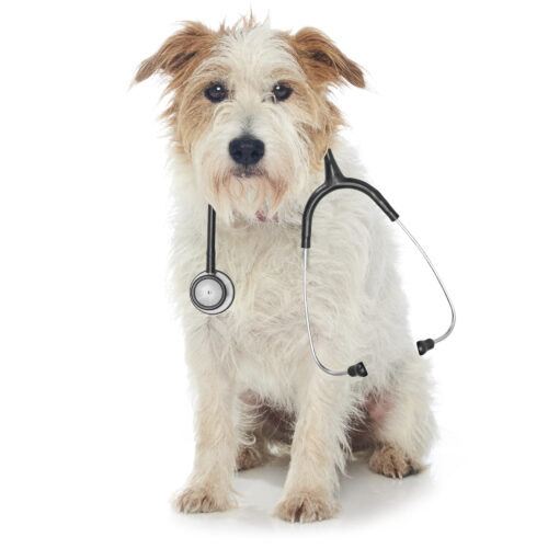 A scruffy Terrier being examined at Pattenden Vets. Pattenden Vets are a small independent veterinary practice in Marden, Kent.