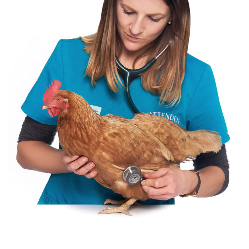 A brown chicken being examined at Pattenden Vets. Pattenden Vets are a small independent veterinary practice in Marden, Kent.