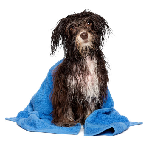 A cute dog being dried after hydrotherapy at Pattenden Vets. Pattenden Vets are a small independent veterinary practice in Marden, Kent.