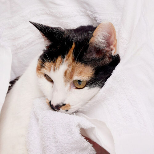 A sick cat being nursed in the clinic at Pattenden Vets. Pattenden Vets are a small independent veterinary practice in Marden, Kent.